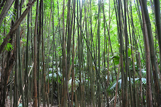 Photo: Bamboo forest.