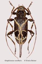 Photo: Graphisurus vexillaris, 18 mm, Costa Rica, Corcovado NP (08°27´/-83°29´), leg. Erwin Holzer, det. Herbert Schmid