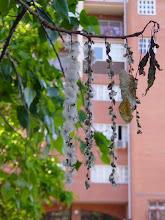 Photo: Inflorescencias femeninas (con semillas) de chopo americano