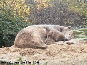Photo: Eisbaerchen Knut schlummert auf dem Sandhaufen ;-)