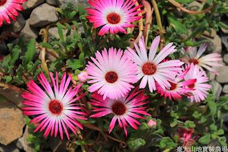 Photo: 拍攝地點: 梅峰-溫帶花卉區 拍攝植物: 彩虹菊 拍攝日期: 2014_02_18_FY