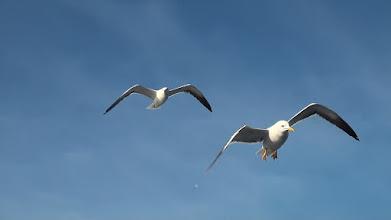 Photo: Прожорливые чайки