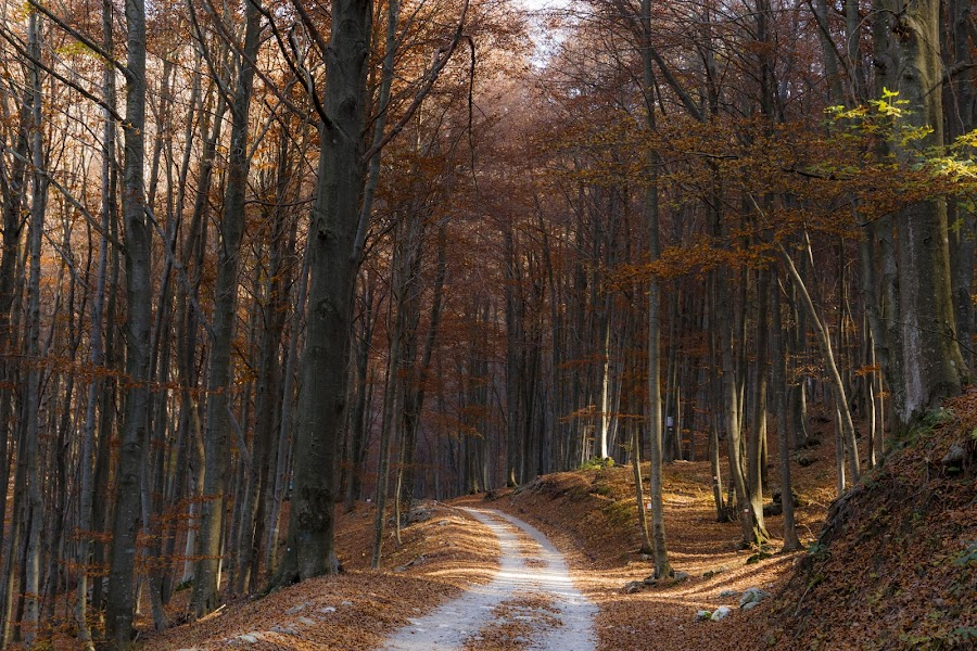 A walk in the forest by Pietro Ebner - Landscapes Forests ( autumn, fall, path, forest, yellow, leaves, walk,  )