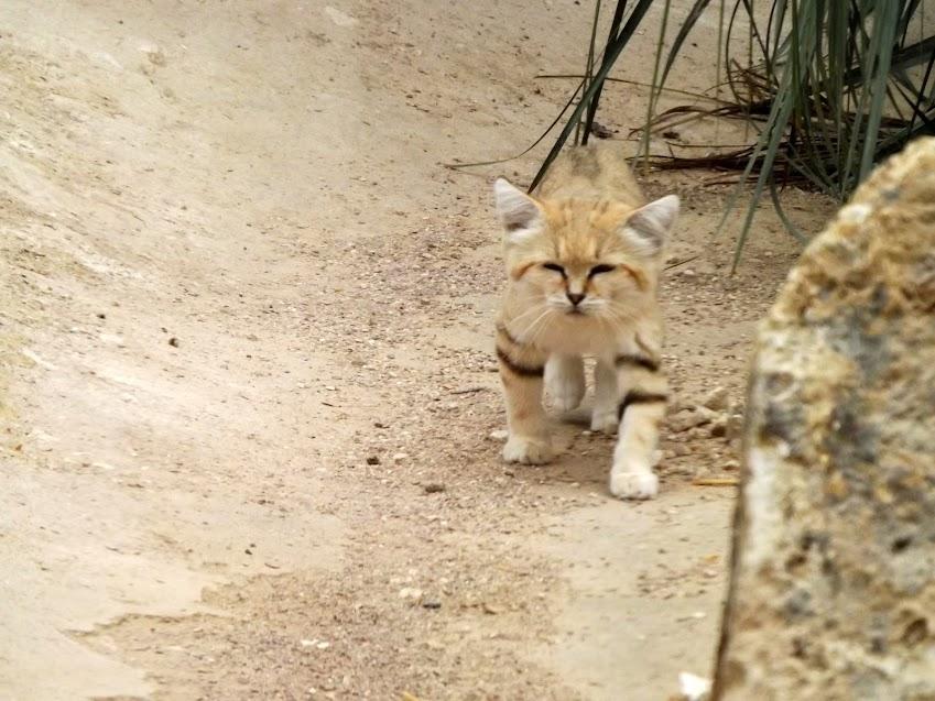 Chat des sables, Parc des Félins - Tous droits réservés