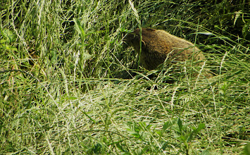 Photo: A woodchuck came to listen to the ranger's talk.