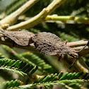 Wingless Coreid Bug