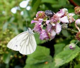 """Photo: Pierides du navet """"Napi napi"""" et un """"drap mortuaire"""" (coléoptère) sur fleurs de ronce."""