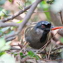 Garrulax chinensis 黑喉噪鶥