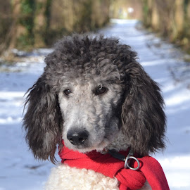 Musing poodle by Els He - Animals - Dogs Portraits ( musing, kingpoodle, els he, poodle, snow, dogportrait, winter, cold, elshe, portrait,  )