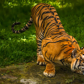 Ready by RIO DJOENED - Animals Lions, Tigers & Big Cats