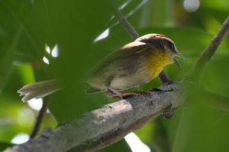 Photo: ! Rufous-capped Warbler (Rotkappen-Waldsänger); Tolantongo, HGO