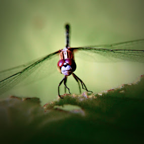 smily dragonfly~ by Kay Eimza - Novices Only Wildlife