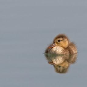 Stockente by Helmut Gloor - Animals Birds ( bird, wasservögel, aves, klingnauer stausee, vögel, stockente, birds,  )