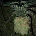 Whip Spider / Cave Spider