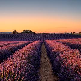 Lavender Fields by Stanley P. - Landscapes Prairies, Meadows & Fields