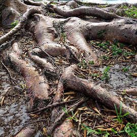 The Beauty of Creeping Tree Roots by Michael Villecco - Nature Up Close Trees & Bushes (  )