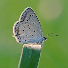 Photo: Cupido argiades, Azuré du Trèfle, Short-tailed Blue  http://lepidoptera-butterflies.blogspot.com/