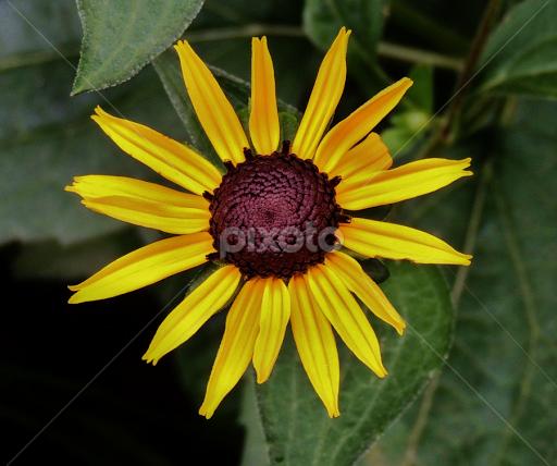 black eyed susan maryland state flower single flower flowers