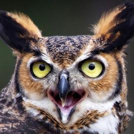 Portrait of a great horned owl by Sandy Scott - Animals Birds ( owl portrait, raptor, birds of prey, owl, nature, great horned owl, owl eyes, animals, birds, eyes, marcro, wildlife )