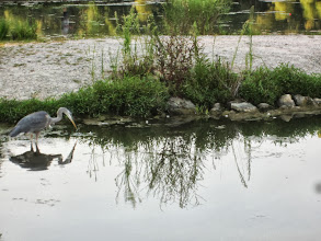 Photo: Young, male heron fishing in the lake at Carriage Hill Metropark in Dayton, Ohio.