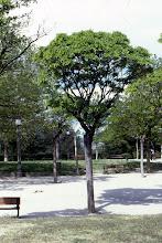 Photo: Acacia de flor blanca o falsa acacia (Robinia pseudoacacia)