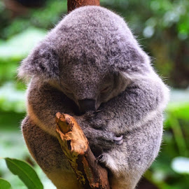 Sleepy koala by Amanda Daly - Novices Only Wildlife