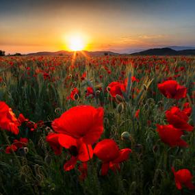 Poppy Flowers by Adrian Urbanek - Flowers Flowers in the Wild