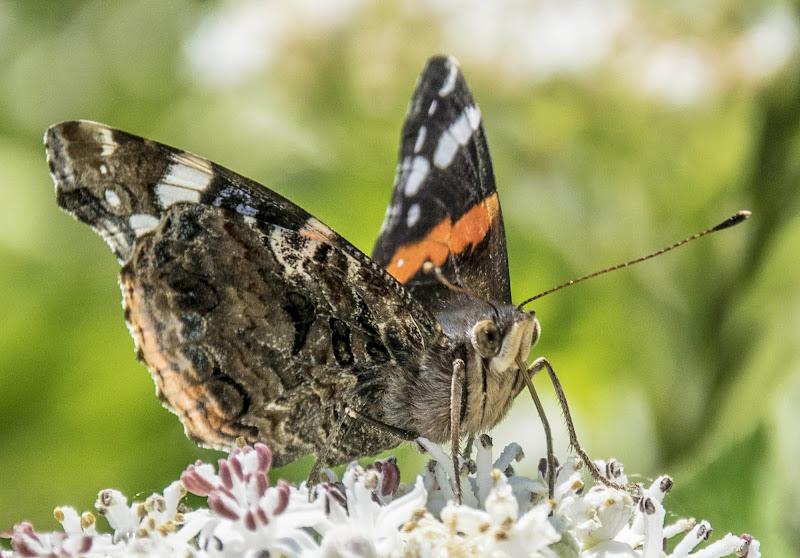 La farfalla di Castelluccio di Norcia di arturo aiello