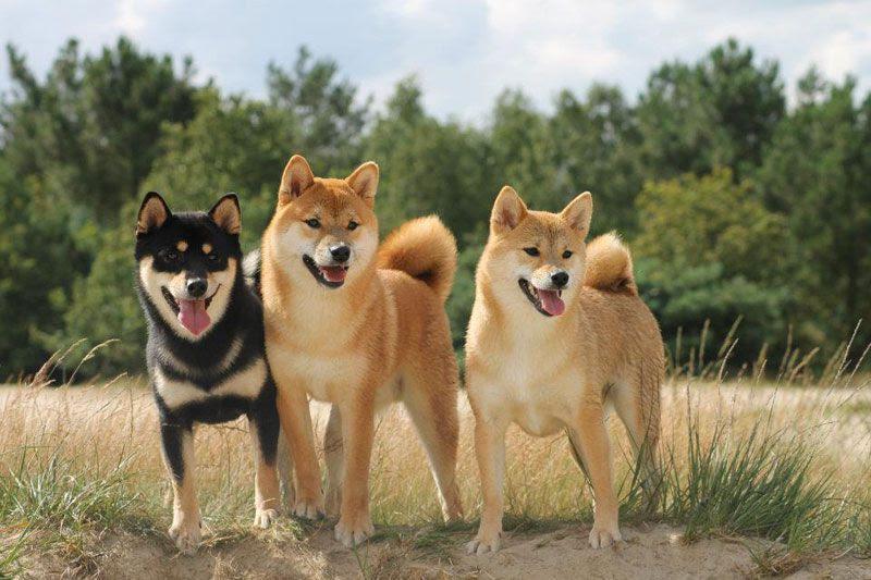 Giá mua bán chó Shiba Inu. Đặc điểm chó Shiba Inu thuần chủng