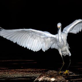 Snowy Egret of Cunningham by Alex Sam - Animals Birds ( canon, bird, dancing, shooter, photographer, wildlife, snowy egret, birder, egret, animal, shooting )