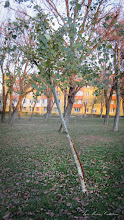 Photo: Mesteacan (Betula) - din Parcul din Mr.1 - 2016.11.11