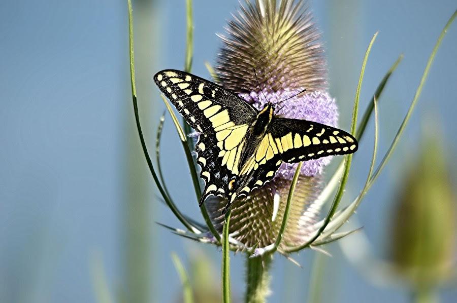 by Larry Peeler - Uncategorized All Uncategorized ( butterfly, nature, colorful, beautiful, swallowtail )