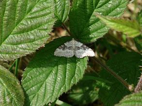 Photo: Carpet Moth