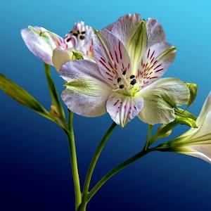 lilyflower.jpg