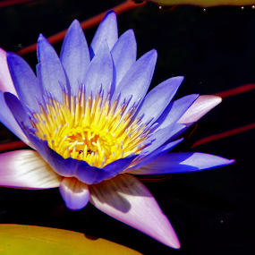 Water Lily by Roxana McRoberts - Nature Up Close Flowers - 2011-2013