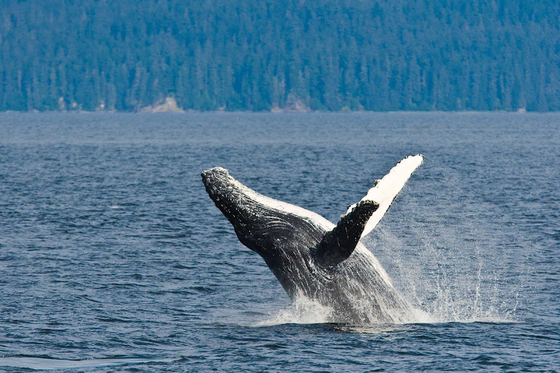 An adult humpback whale breaches after disaffiliating from a group along the west side of Chatham Strait in Southeast Alaska during a Lindblad expedition.