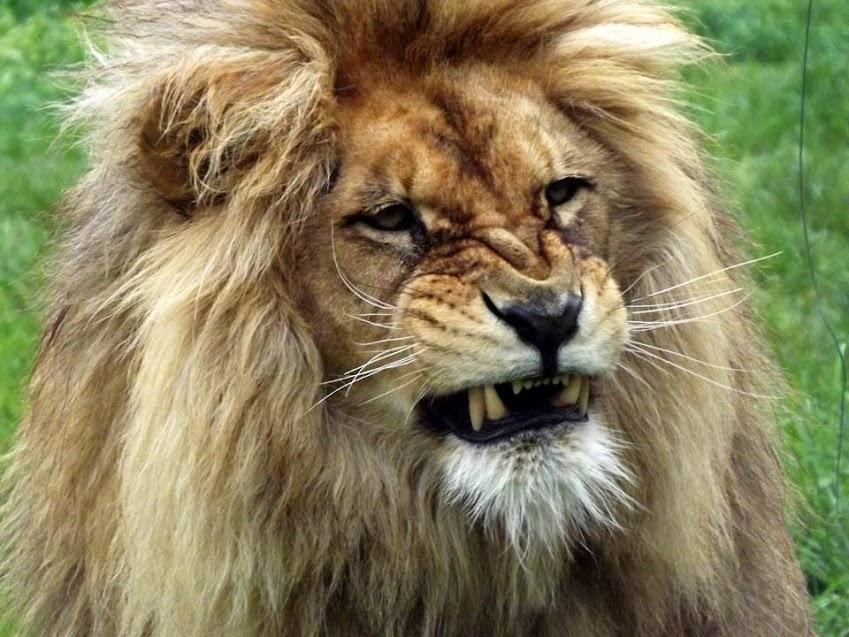 Lion d'Angola, Mervent - Tous droits réservés
