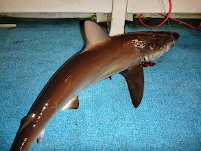 Photo: すぐきました! 人が釣った魚を横どりする「サメ」。 いつも以上に説教して海に逃がしました!