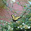 Male Eastern Tiger Swallowtail butterfly