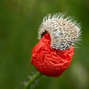 by Helena Jirasová - Flowers Flowers in the Wild ( nearly blooming poppy poppy )