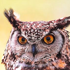 Owl by Johann Fouche - Animals Birds ( owl portrait, raptor, wise, owl, eyes,  )