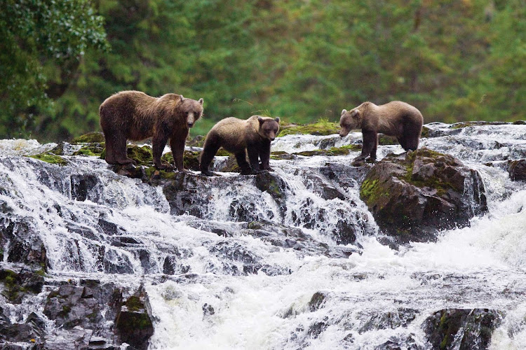 Three brown bears fish for pink salmon in a stream in Alaska during a Lindblad Expeditions tour.