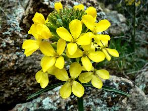 Photo: Erysimum capitatum ssp. capitatum - M. White