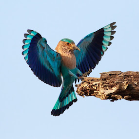 Roller by Saumitra Shukla - Animals Birds ( amazing, flying, wild, animals, wings, colors, beautiful, wildlife, indian, travel, indian roller )