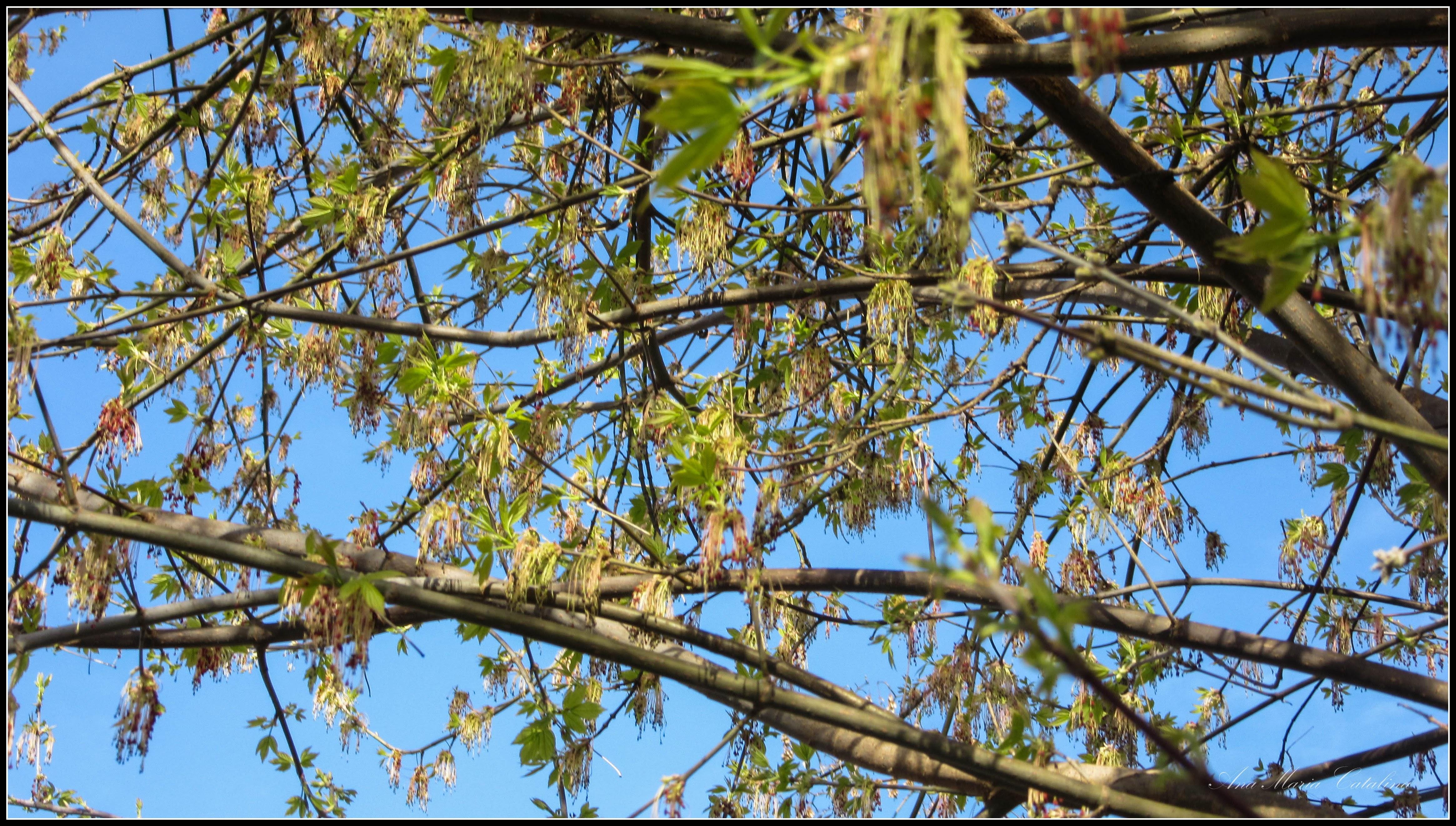 Photo: Artar American ( Acer negundo ) - de pe Calea Victoriei, alee Mr.2 - 2017.03.27