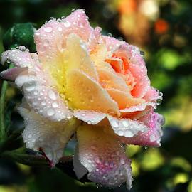 Rose by Ad Spruijt - Flowers Flower Gardens