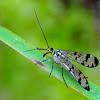 Common scorpionfly; Mosca escorpión