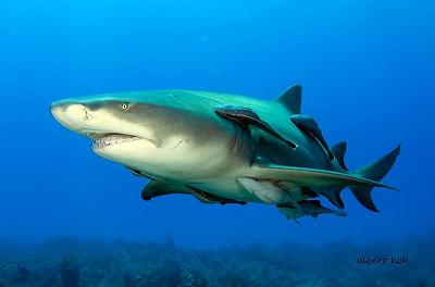 Nurse_shark_with_remoras.jpg