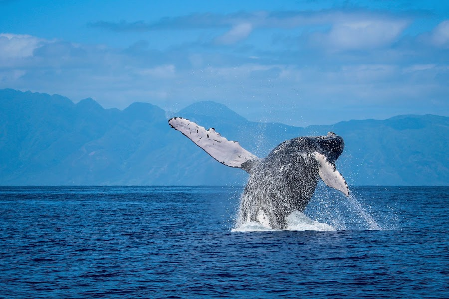 Humpback Breach  by Katie Sheppard - Animals Other Mammals ( motion, pwc76, whale, animal, animals in motion, wildlife, animals, birds, dogs, cats, snakes, reptiles, mammals, amphibians )