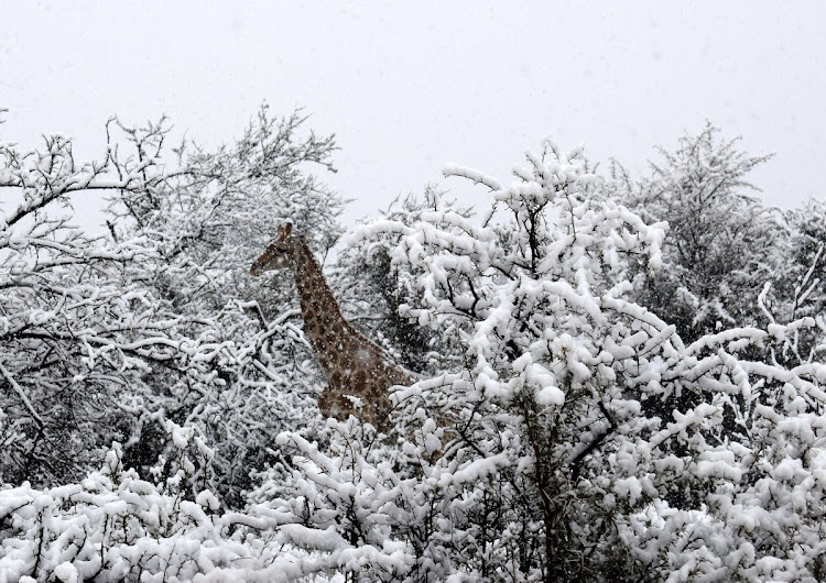 A picture of a Giraffe roaming through the snow at the Karoo semi-desert, South Africa.